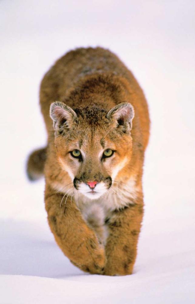 Lion in Winter Crandall, Gary 48534