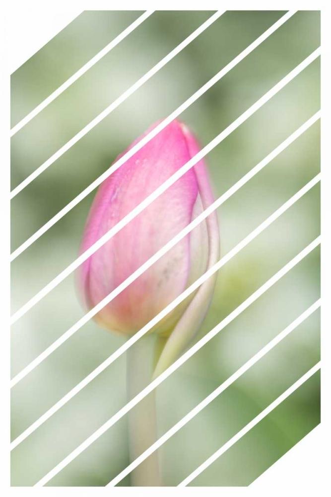 Spring Tulip Murdock, Ramona 149485