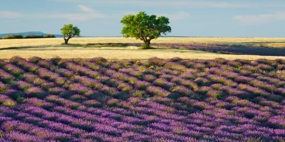 Lavender field and almond tree, Provence, France Krahmer, Frank 117911