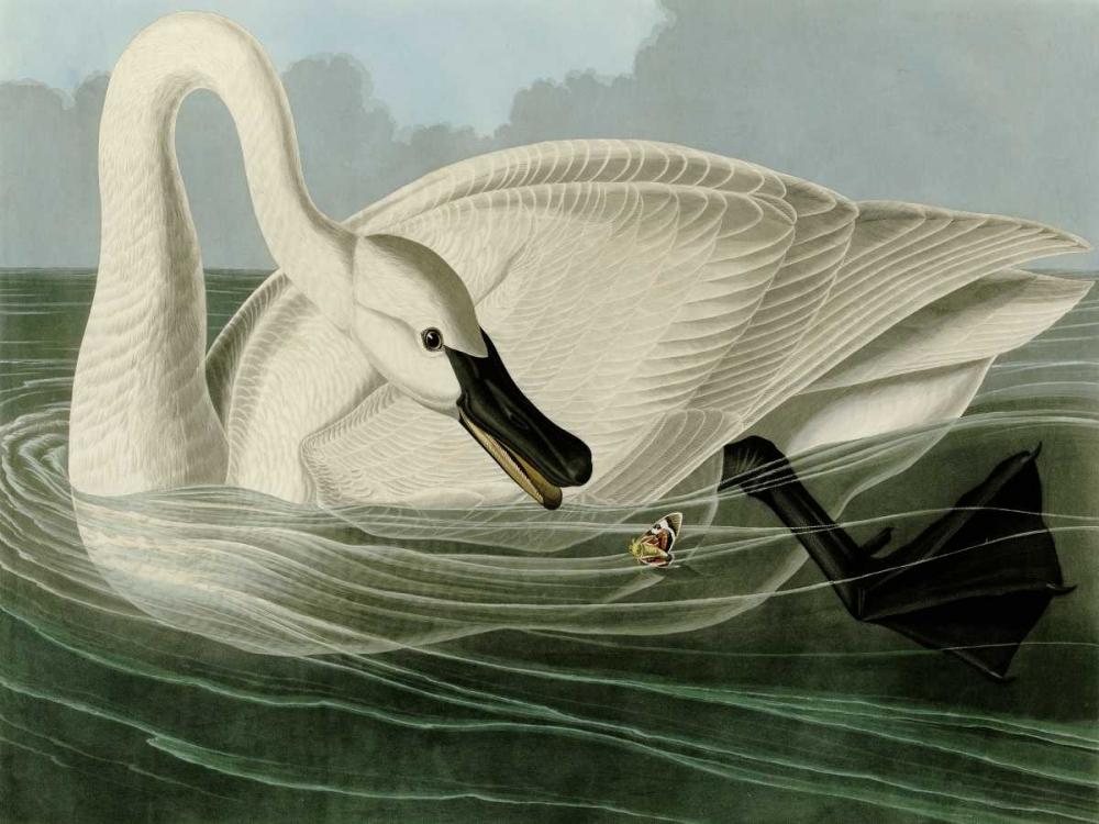 Trumpeter Swan Audubon, John James 162747
