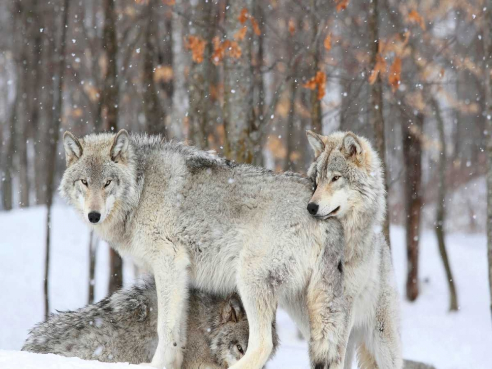Three grey wolves huddle together during a Quebec snowstorm Anonymous 149032