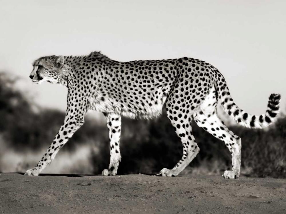 Cheetah, Namibia, Africa Krahmer, Frank 118091
