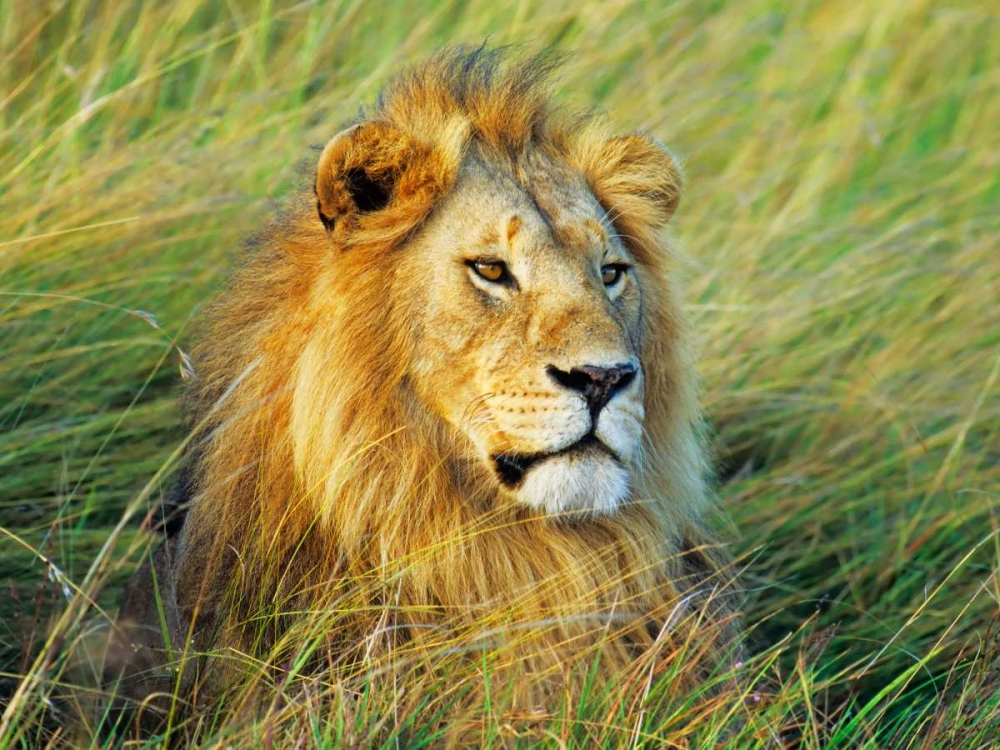 African lion, Masai Mara, Kenya Krahmer, Frank 118098