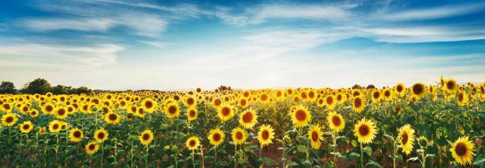 Sunflower field, Plateau Valensole, Provence, France Krahmer, Frank 118210