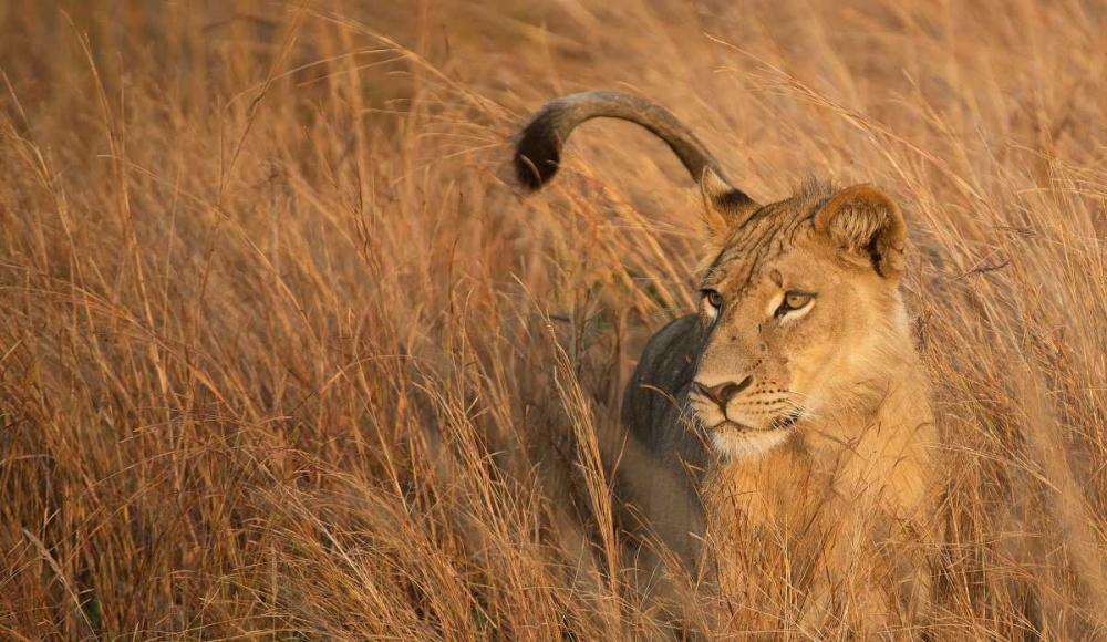 Lion in Tall Grass Bennion, Scott 52559