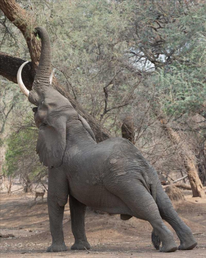 Reaching Elephant - Mana Pools Zimbabwe Bennion, Scott 52572