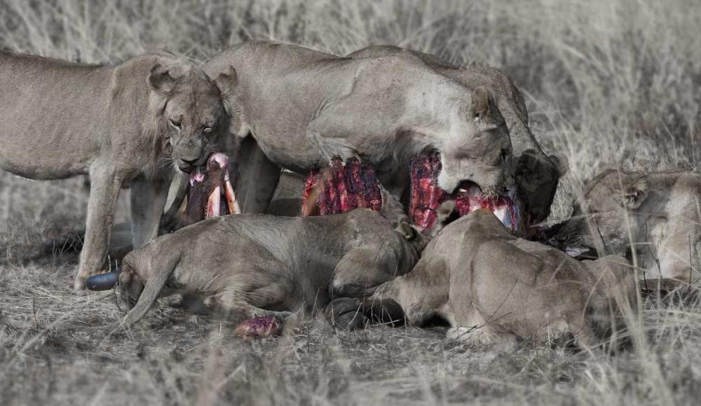 South Luangwa Lions Bennion, Scott 52581