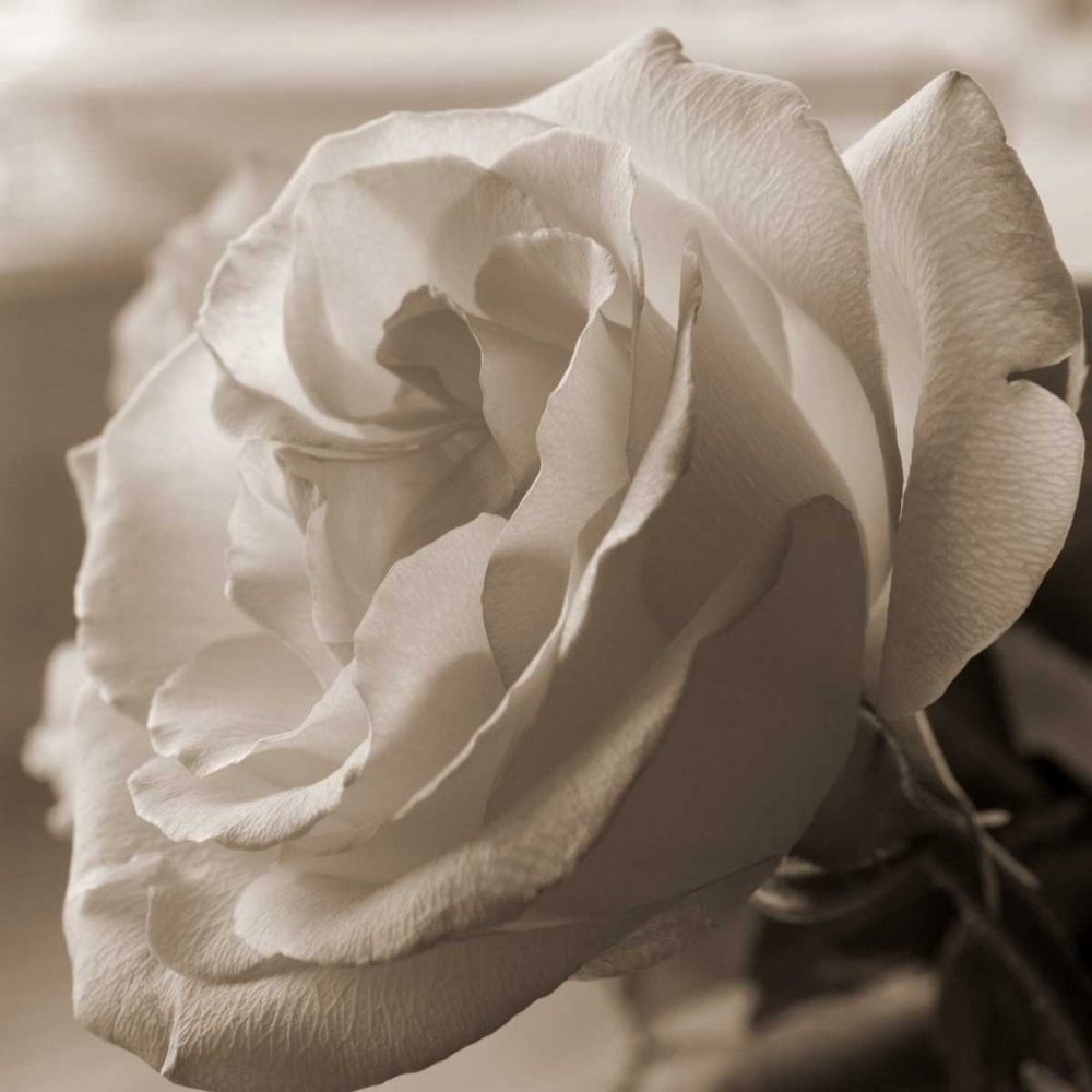 Sepia Rose 1 Semenza, Marlana 64821