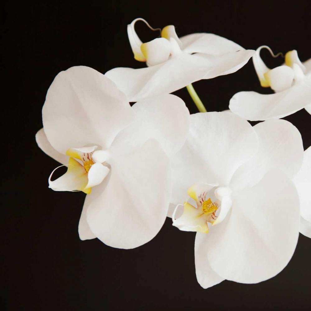 Dramatic Orchid 2 Susannah Tucker Photography  142226