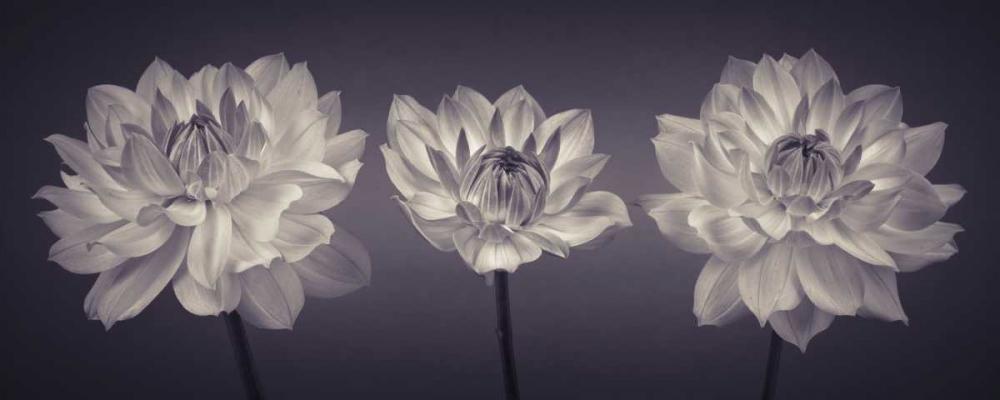 Three Dahlia flowers Frank, Assaf 103216