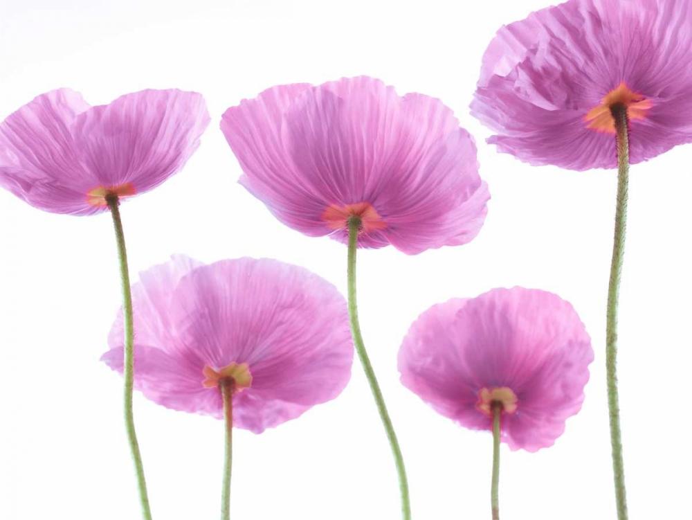 Five Poppies Frank, Assaf 103245