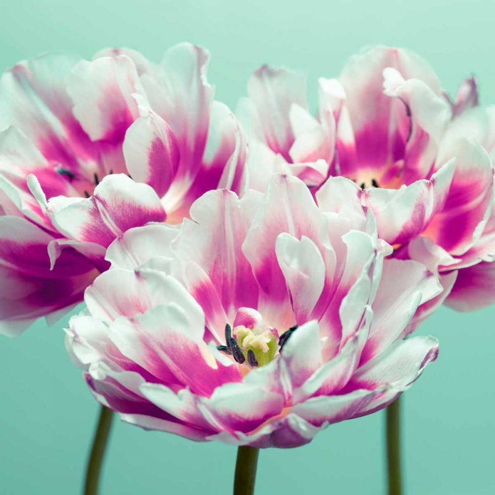 Three tulips Frank, Assaf 103394