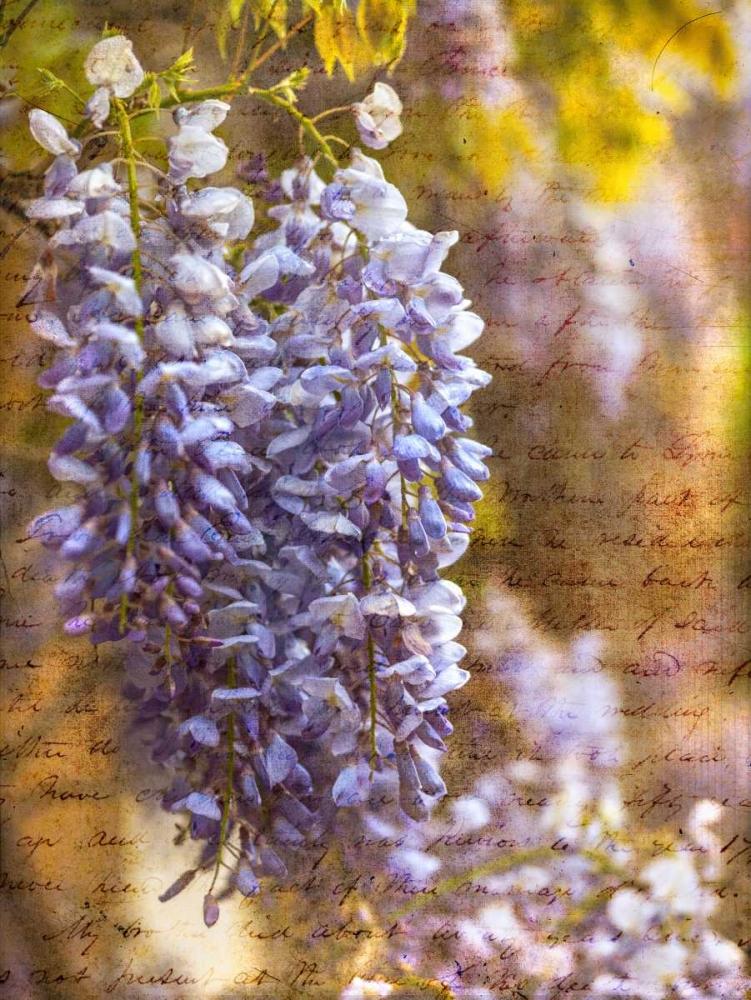 Beautiful Allium flowers Frank, Assaf 103653