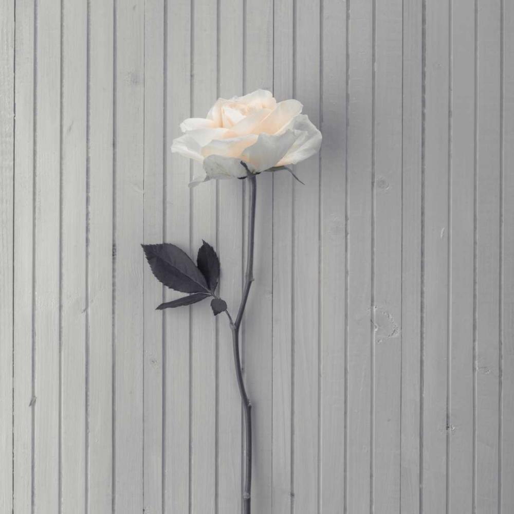 Rose on table Frank, Assaf 104310