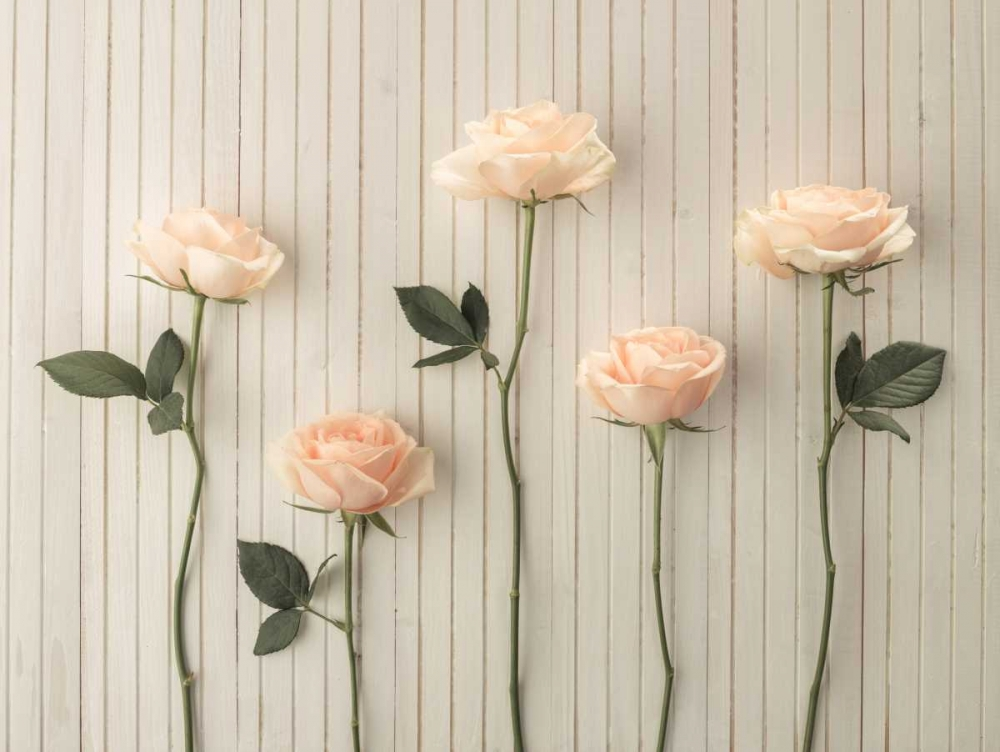 Roses in a row on table Frank, Assaf 104314