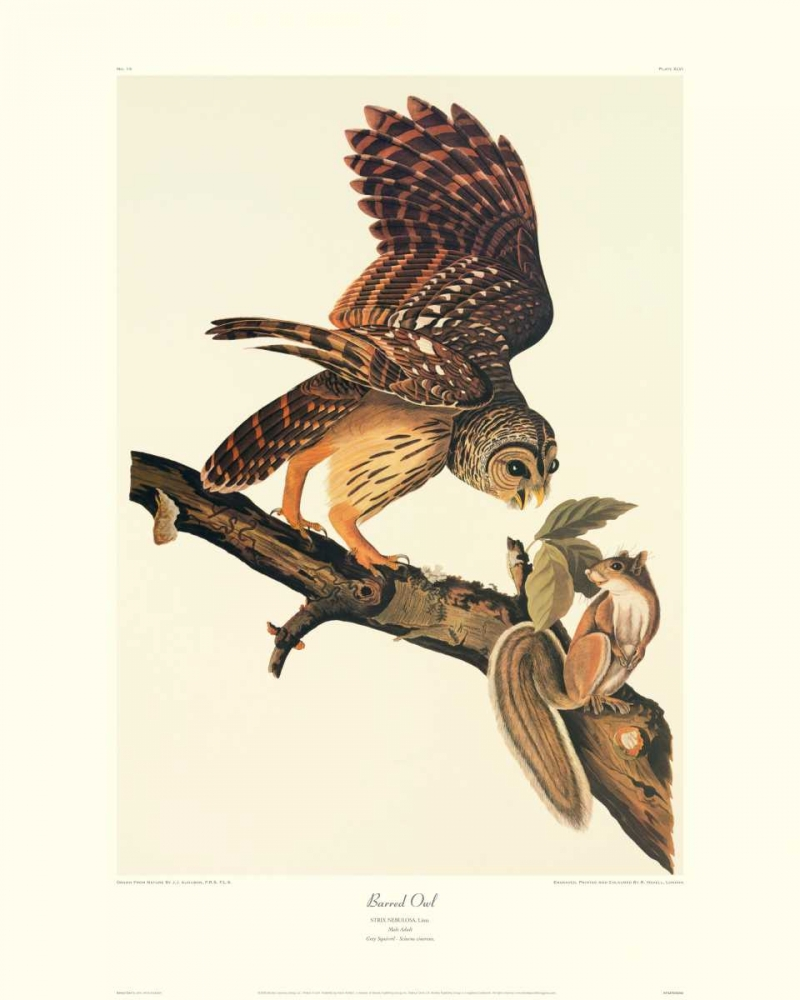 Barred Owl (decorative border) Audubon, John James 93689