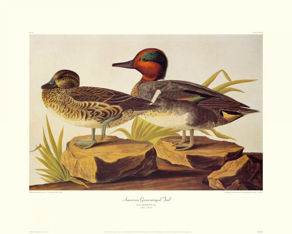 American Green-Winged Teal (decorative border) Audubon, John James 93704