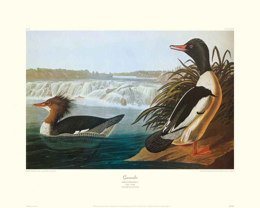 Goosander (decorative border) Audubon, John James 93718