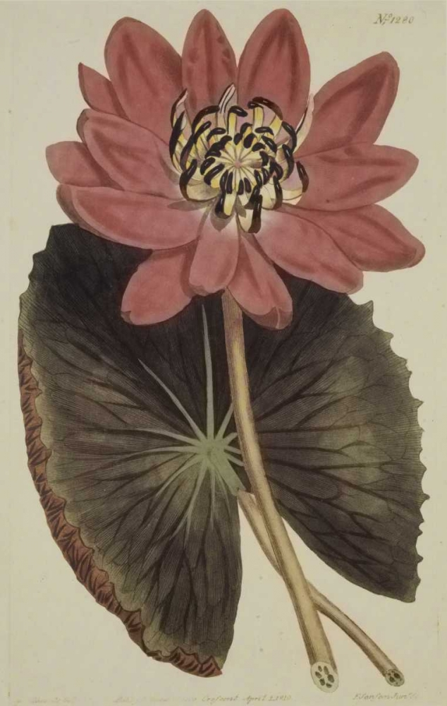 Wonderous Water Lily Sweet, Robert 93827