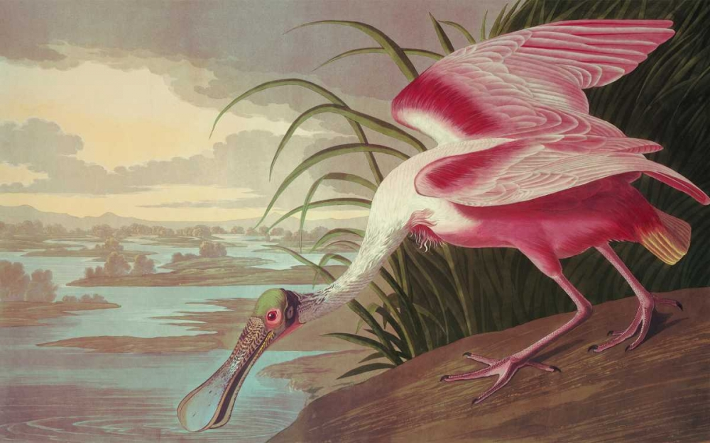 Roseate Spoonbill Audubon, John James 93754