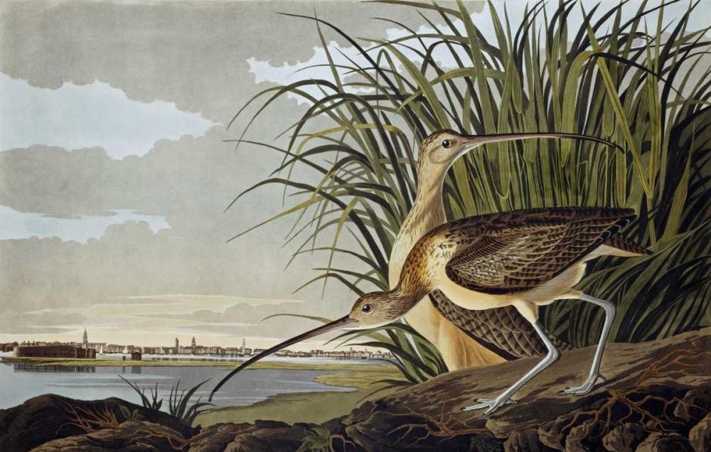 Male and Female Long Billed Curlew Audubon, John James 88751