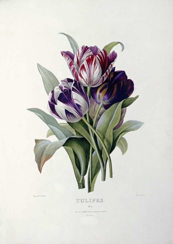 Tulips Redoute, Pierre Joseph 89144