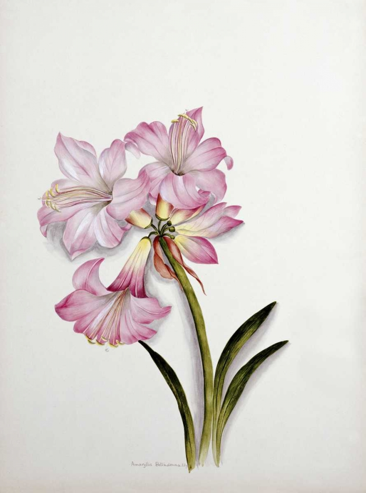 Amaryllis Belladonna Dixie, Ethel May 89530
