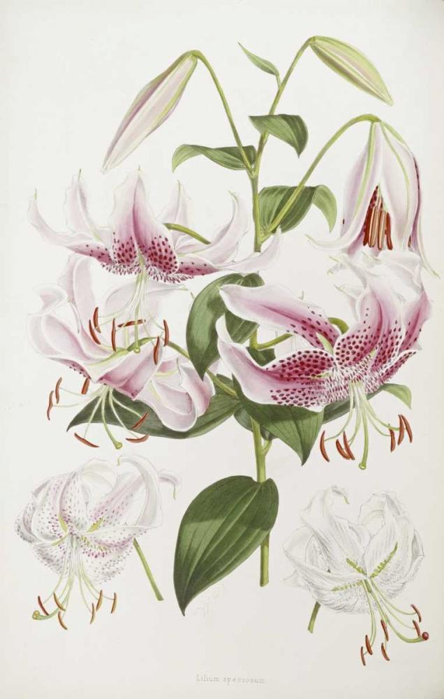 A Monograph of The Genus Lilium Elwes, Henry John 89550