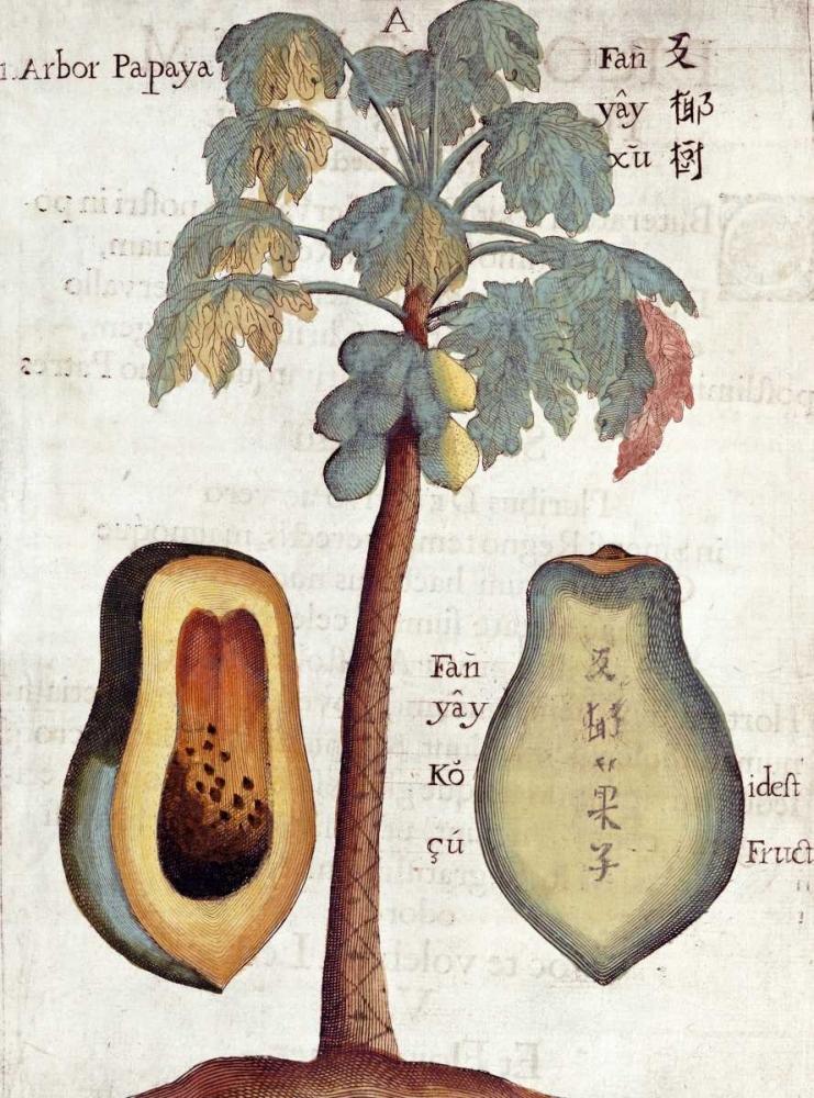 Papaya Tree Boym, Michael 90234