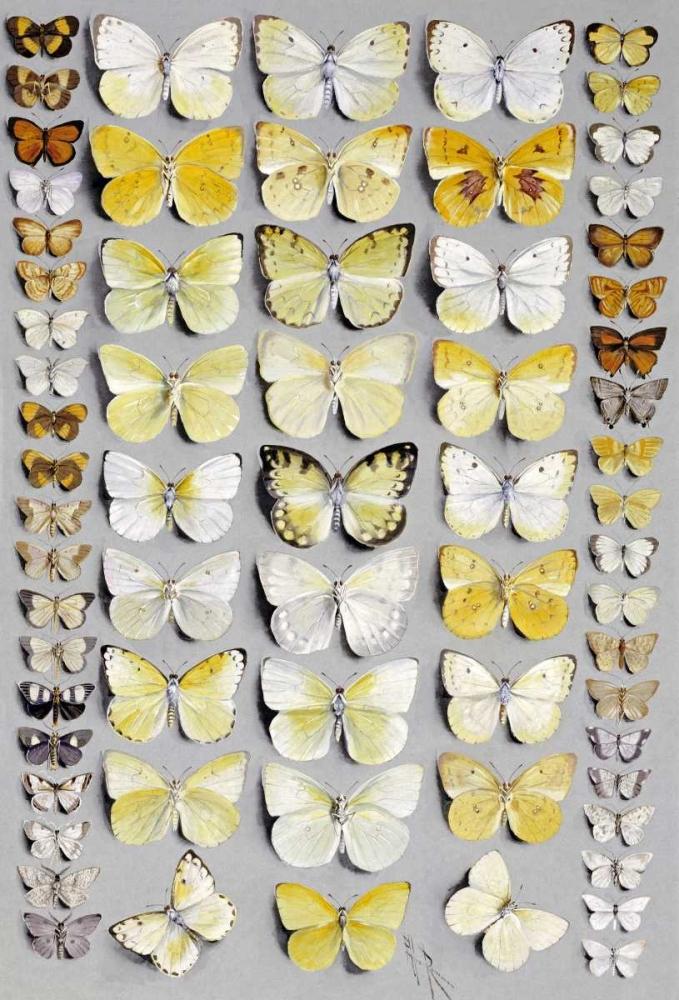 Sixty-Seven Lepidoptera Rowan, Marian Ellis 90591