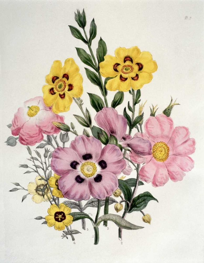 Yellow and Pink Mixed Flowers. Cistus Burne-Jones, Sir Edward 90798