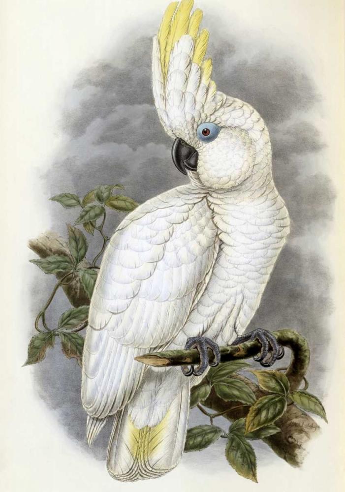 Blue-Eyed Cockatoo Glover, John 91079