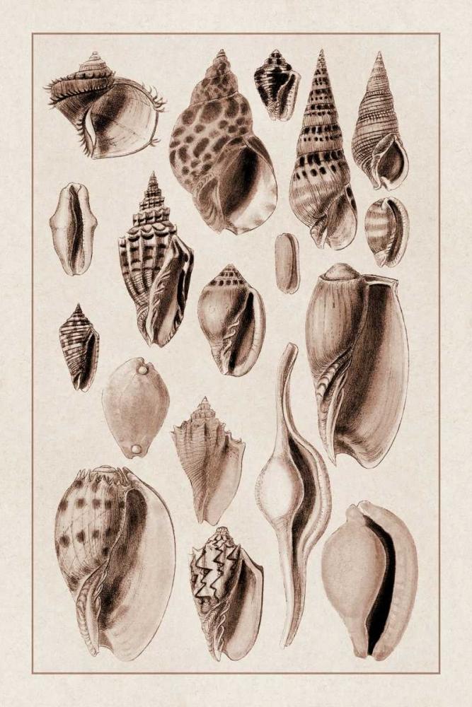 Shells: Trachelipoda #6 (Sepia) Sowerby, G.B. 96210