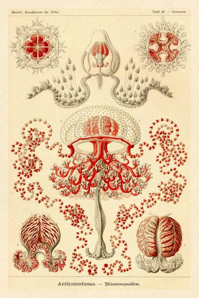 Haeckel Nature Illustrations: Anthomedusae Haeckel, Ernst 96080