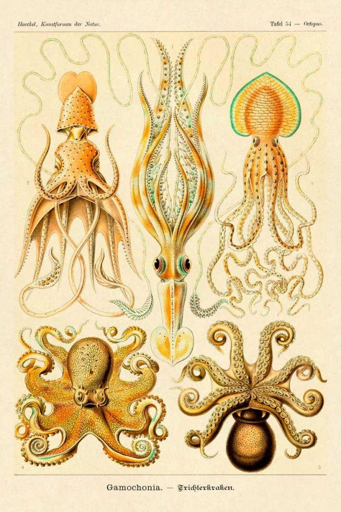Haeckel Nature Illustrations: Cephlopods Haeckel, Ernst 96091