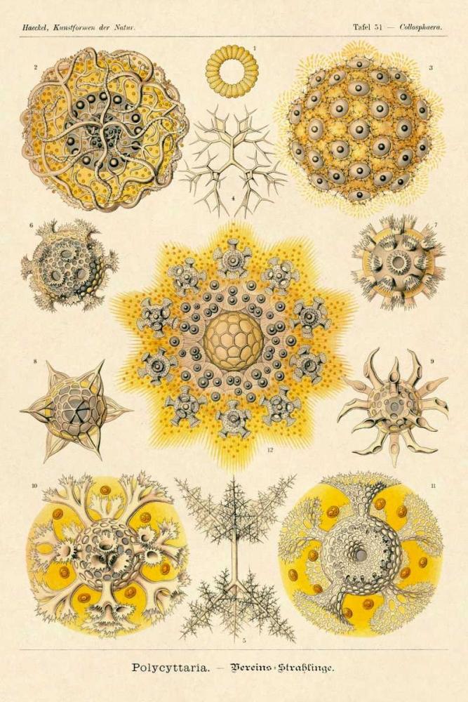 Haeckel Nature Illustrations: Polycytaria Radiolaria Haeckel, Ernst 96099