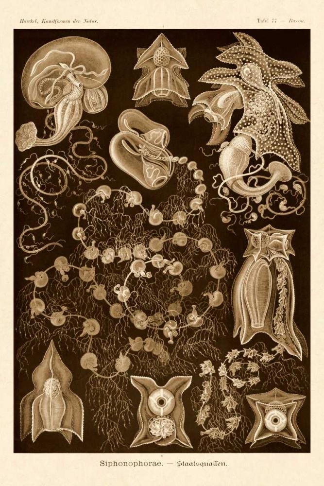 Haeckel Nature Illustrations: Siphoneae Hydrozoa - Sepia Tint Haeckel, Ernst 96109