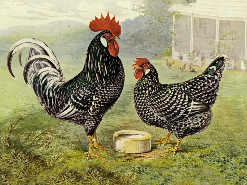 Chickens: Anconas Wright, Lewis 96333