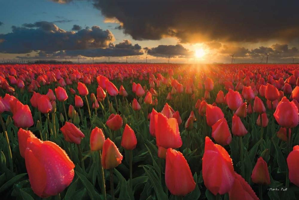 Tulips at Sunset Podt, Martin 142918