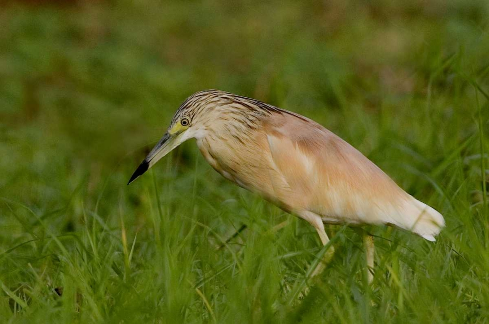 Kenya Squacco heron bird in green grass Williams, Joanne 136013