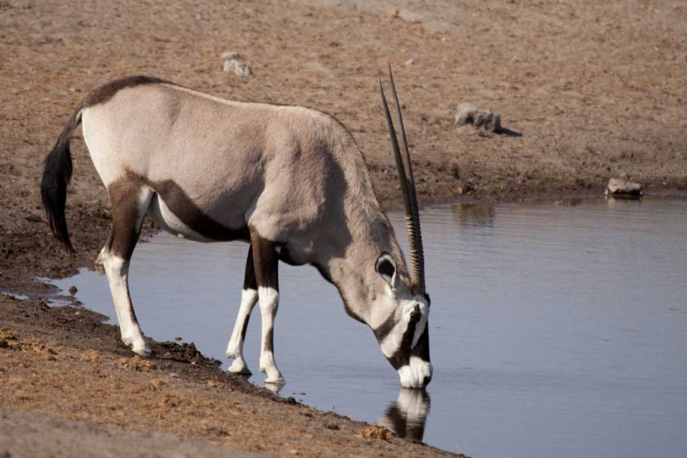 Namibia, Etosha NP Oryx drinking at a waterhole Kaveney, Wendy 130436
