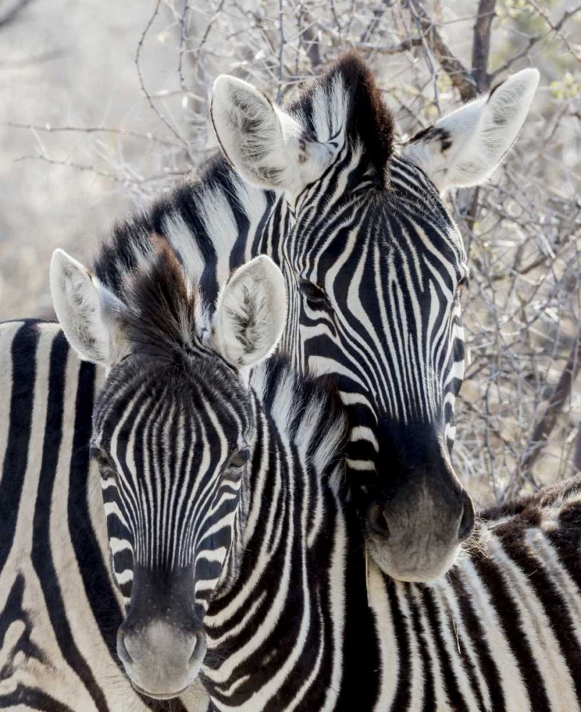 Namibia, Etosha NP Portrait of two zebras Kaveney, Wendy 130013