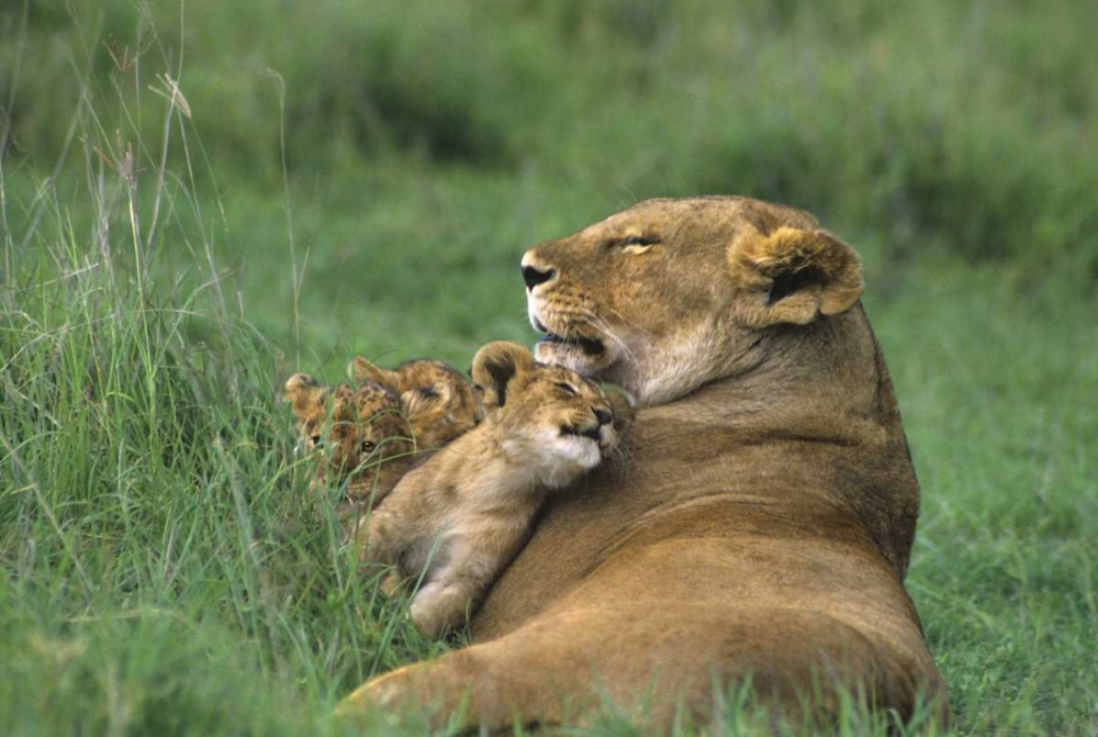 Tanzania, Ngorongoro Crater African lion and cub Welling, Dave 135959