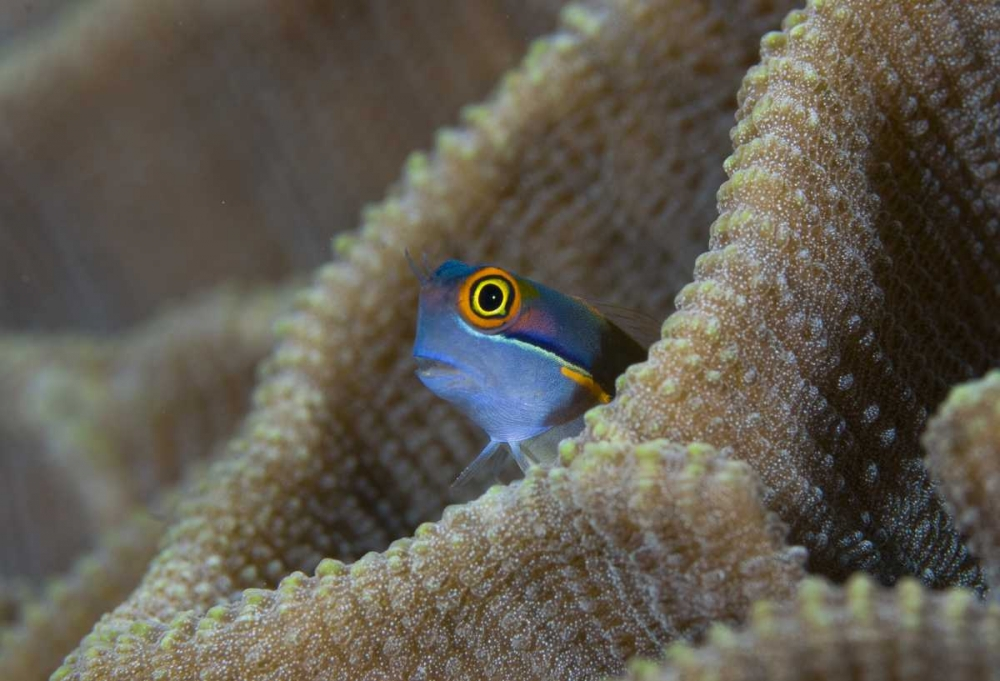 Blenny fish inside coral reef, Indonesia Shimlock, Jones 134232