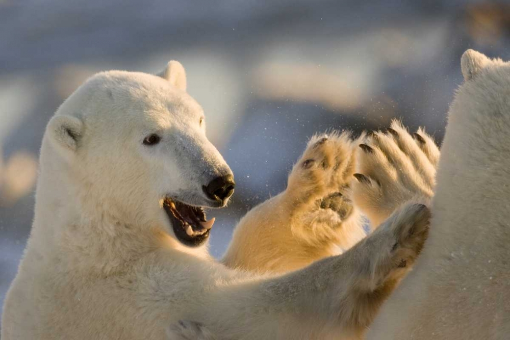 Canada, Churchill Sparring polar bears Kaveney, Wendy 129937