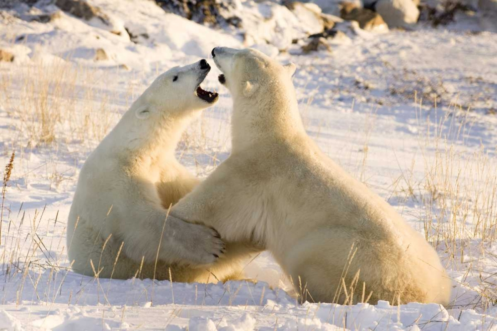 Canada, Churchill Sparring polar bears Kaveney, Wendy 129925