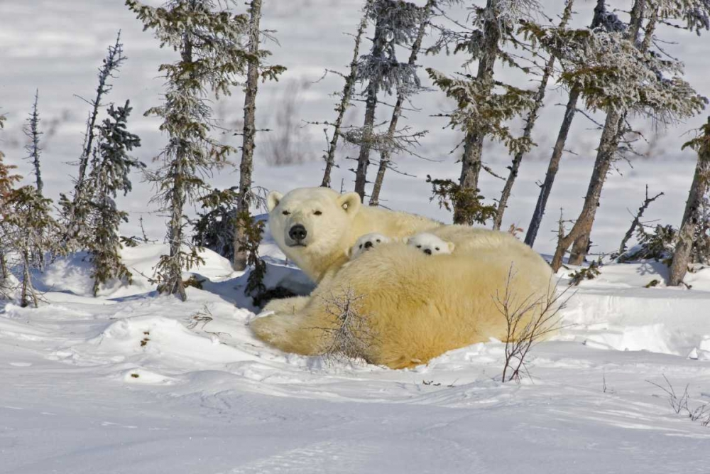 Canada, Wapusk NP Polar bear cubs and mother Illg, Cathy - Gordon 129181
