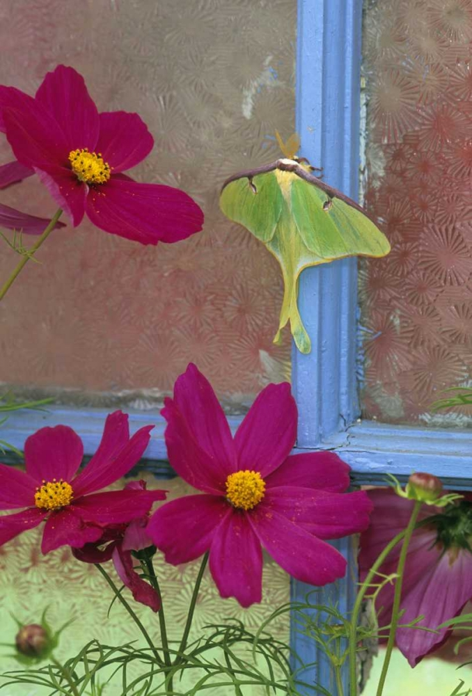 Luna Moth on Old Window with Cosmos Rotenberg, Nancy 133683