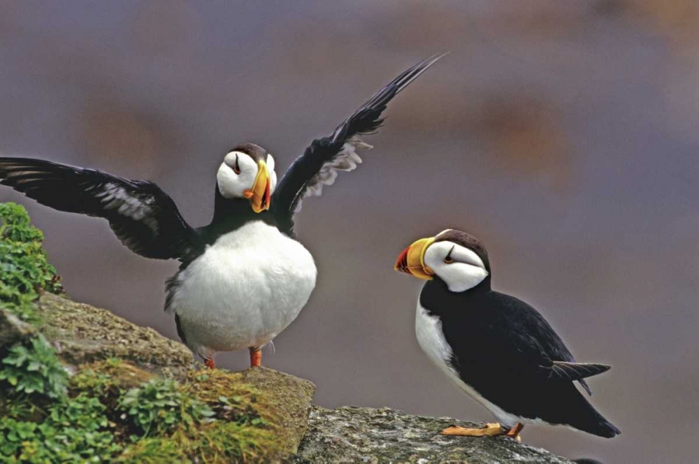AK, St George Isl Horned puffins interacting Welling, Dave 135879