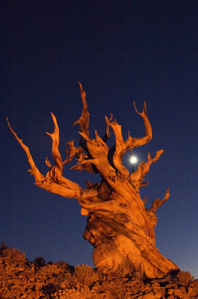 CA, White Mts, Moon and bristlecone pine tree Kirkland, Dennis 130738
